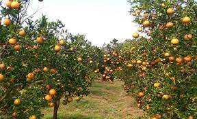 Wisata Agro Petik Jeruk, petik jeruk malang, wisata petik jeruk malang, wisata petik jeruk batu,